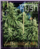 Kush Seeds Diesel Kush Female 10 Cannabis Seeds